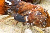 Raising chicken backyard
